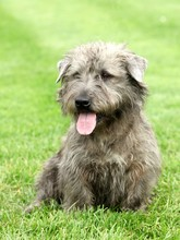 Irish Glen Of Imaal Terrier In...