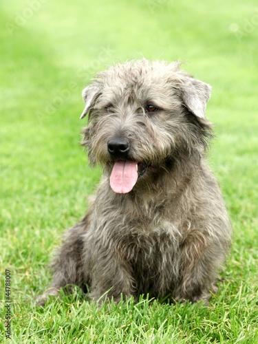Photo Irish Glen of Imaal Terrier in the garden