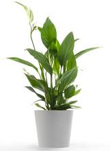 Houseplant - Peace Lily