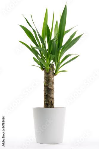 Valokuva House Plant - Yucca