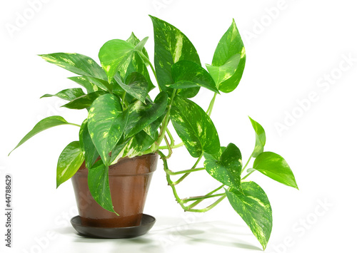 Foto op Canvas Planten Potted Plant - Pothos