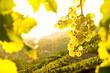 Leinwandbild Motiv Weintrauben im Weinberg