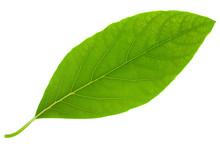 Avocado Leaf Big Size