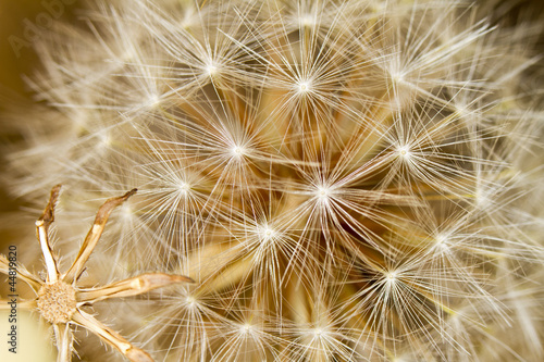 beautiful dandelion flowers