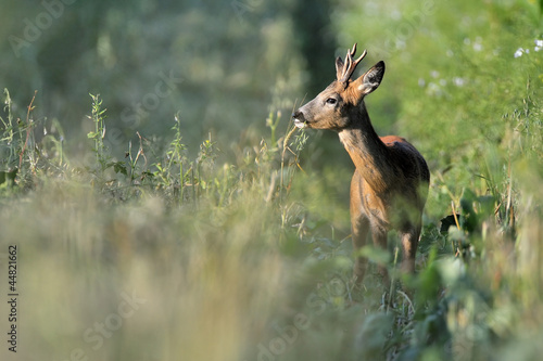 Photo sur Aluminium Roe roebuck