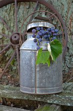 Concord Grapes With Milk Can