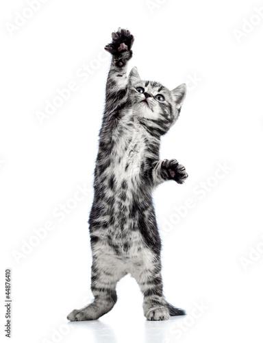 figlarny-kot-kotek-na-bialym-tle