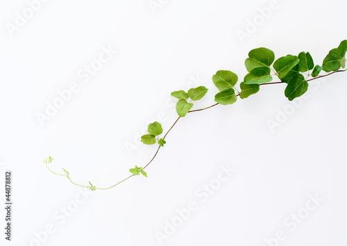 Láminas  蔦葉の背景