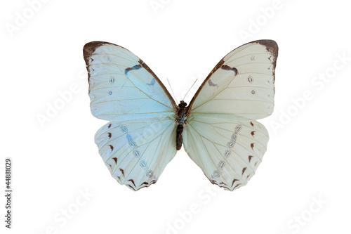 Fotografie, Obraz  morpho epistrophu. Butterfly. Isolated on white background