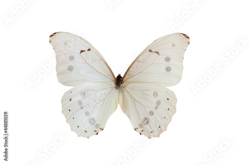 Morpho Polyphemus. Butterfly. Isolated on white background Canvas Print