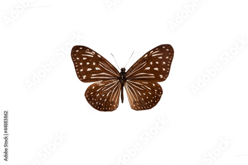 Fotografie, Obraz  Danaus. Butterfly. Isolated on white background