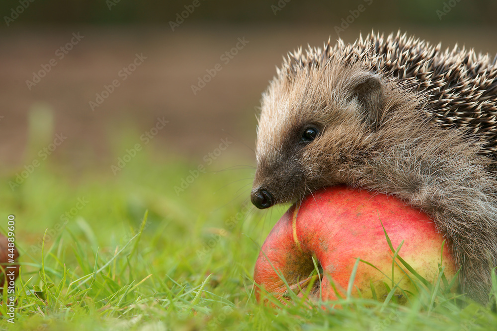 Fototapety, obrazy: Igel mit Apfel