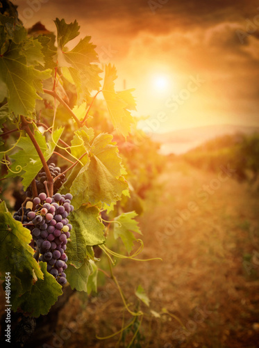 Poster Wijngaard Vineyard in autumn harvest