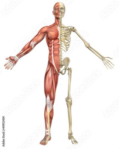 mezczyzna-miesni-szkielet-podzielic-widok-z-przodu