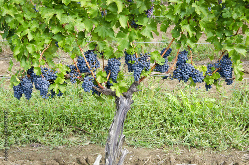 Fotografie, Obraz  Row of Ripen Cabernet Sauvignon Red Wine Grapes in a Vineyard
