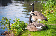 Two Wild Canada Goose On The C...