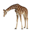 canvas print picture - Somali Giraffe, commonly known as Reticulated Giraffe