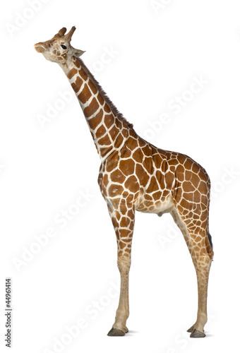 Keuken foto achterwand Giraffe Somali Giraffe, commonly known as Reticulated Giraffe
