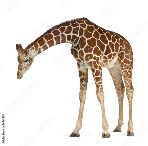 Somali Giraffe, commonly known as Reticulated Giraffe Wallpaper Mural