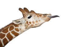 Somali Giraffe, Commonly Known...