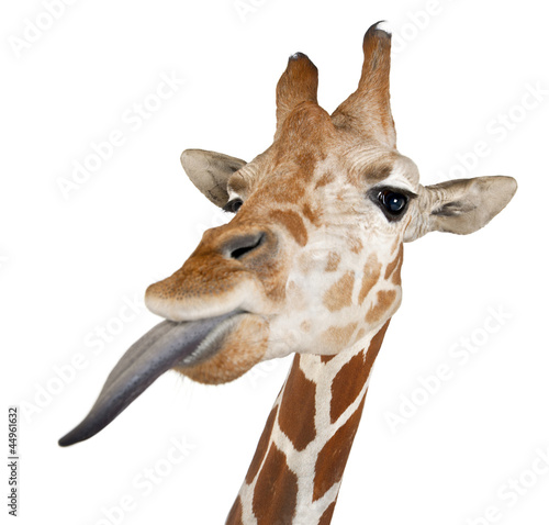 Valokuva  Somali Giraffe, commonly known as Reticulated Giraffe