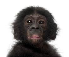 Baby Bonobo, Pan Paniscus, 4 M...