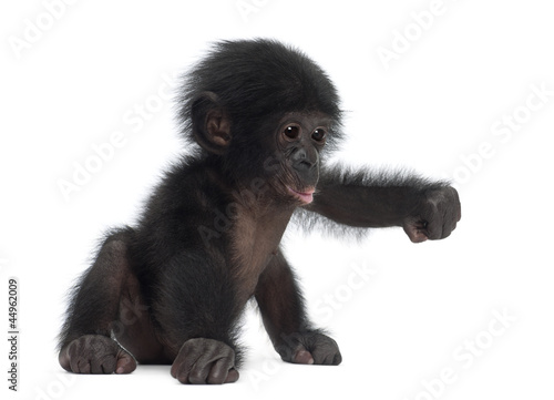 Foto op Aluminium Aap Baby bonobo, Pan paniscus, 4 months old