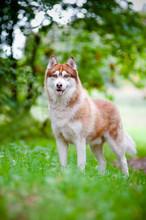 Siberian Husky Standing Outdoors