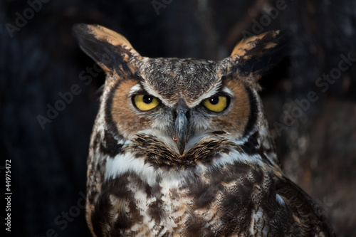 Keuken foto achterwand Uil Great Horned Owl in a Tree