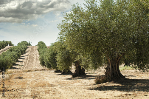 In de dag Olijfboom Olive trees
