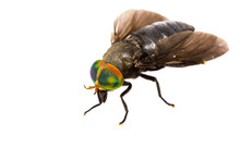 Isolated Of Horse Fly
