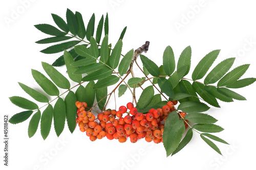Fotografie, Obraz  Ashberry - Sorbus aucuparia