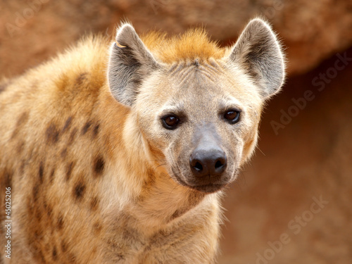Photo Stands Hyena Spotted Hyena