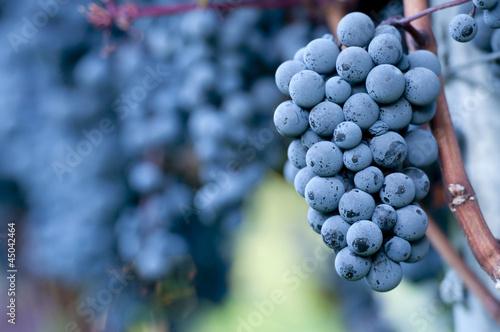 Fotografie, Obraz  Red grapes