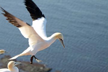 Fototapeta na wymiar Basstölpel am Vogelfelsen auf Helgoland