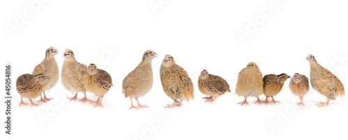 Leinwand Poster quail