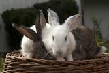 Fototapeta Zwierzęta - króliki