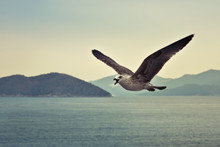 Squawking Seagull In Flight Against Greek Island Backdrop