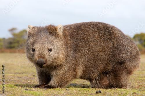 Printed kitchen splashbacks Australia Wombat close-up