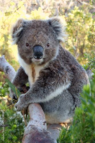 Garden Poster Koala Koala on tree