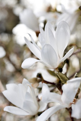 Fototapeta Beautiful magnolia blossom