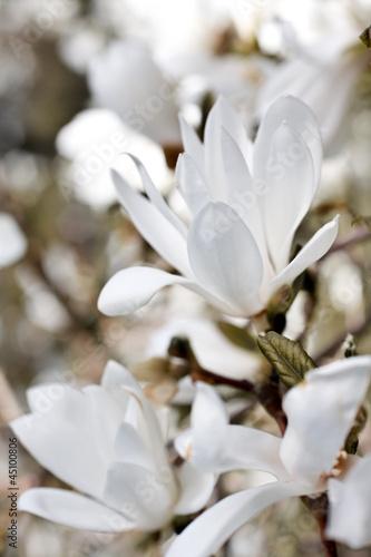 Papiers peints Magnolia Beautiful magnolia blossom