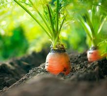 Organic Carrots. Carrot Growing Closeup