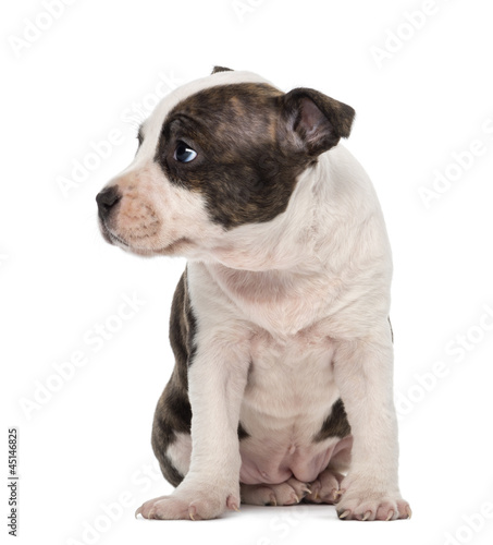 American Staffordshire Terrier Puppy sitting and looking