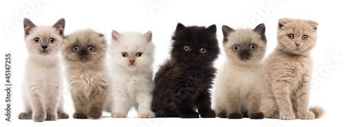Photographie Group of British shorthair and British longhair kittens
