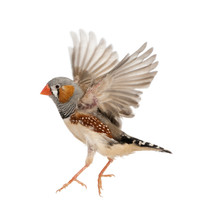 Zebra Finch Flying, Taeniopygi...