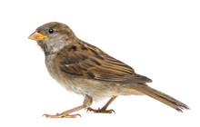House Sparrow Against White Ba...