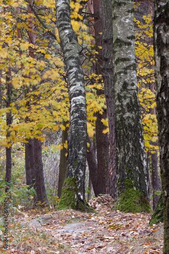 Foto op Aluminium Berkbosje Forest