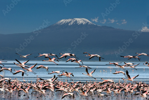 Obraz na plátně Uccelli con il Kilimangiaro