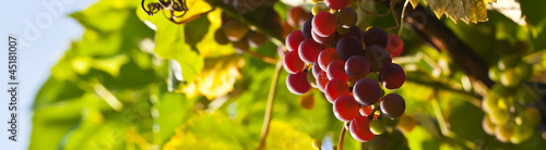 Fototapeta Red grapes on a background of green leaves. obraz